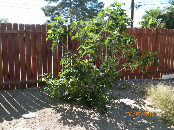 Fig tree out back, going to trim it up a bit and plant strawberries around the bottom.