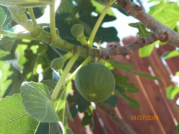 figs growing everywhere.